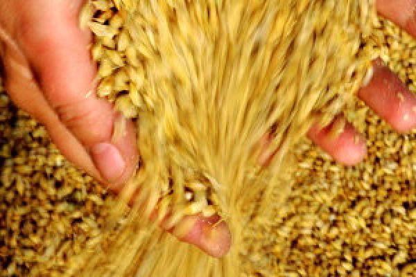 Естественная убыль зерна при хранении на элеваторе оборудование для производства конвейерной ленты