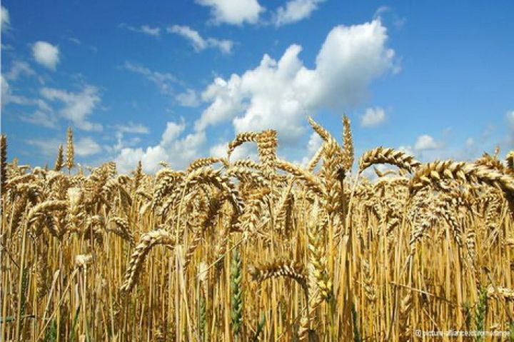 На элеватор поступило 720 т зерна пшеницы когда генри форд внедрил конвейер