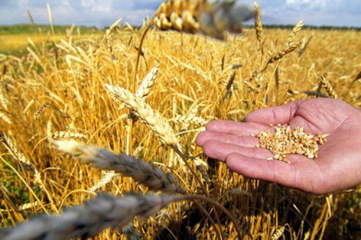 На элеватор поступило 720 т зерна пшеницы термостат на транспортере