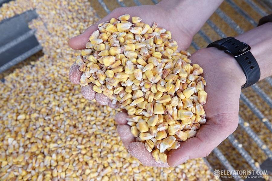 Основным покупателем украинской кукурузы в этом сезоне является Китай