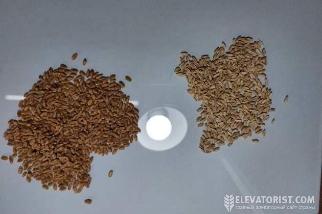 Здоровая и фузариозная пшеница