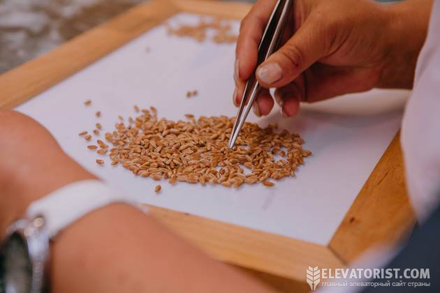 Разбор пшенице не доске