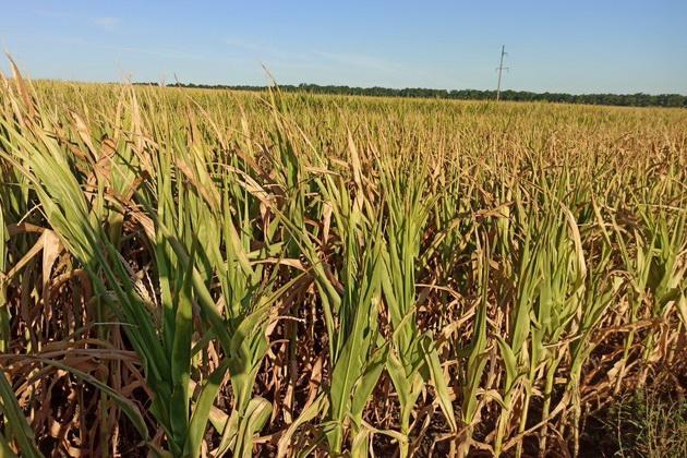 Поле выгоревшей кукурузы