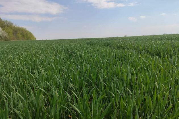 """Озимая пшеница на полях """"Эпицентр Агро"""""""