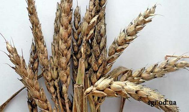 Альтернариоз пшеницы