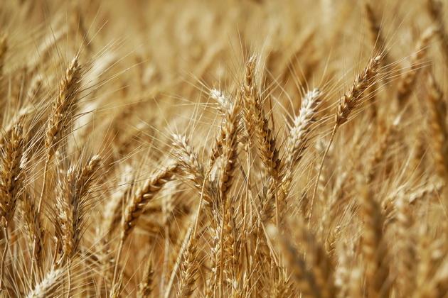 Пшеница в поле
