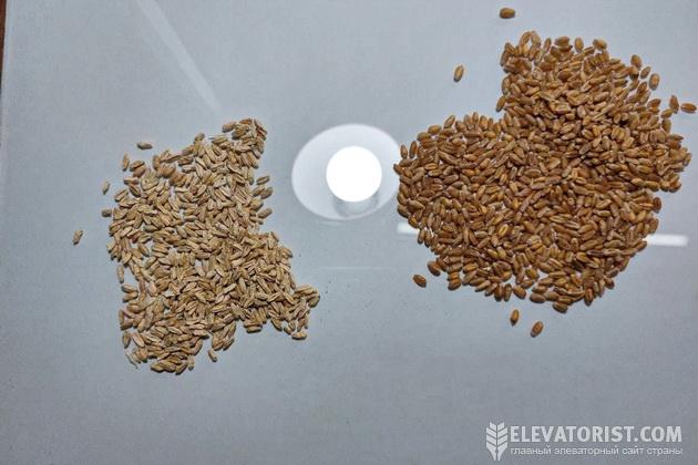 Фузариознные зерно (слева) и здоровая пшеница